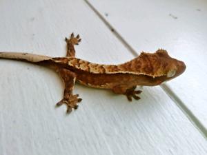 2018 Crested Gecko- Aloof (OBO)