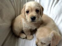 TINY Mini Goldendoodle x Labradoodle - will mature 20 lbs