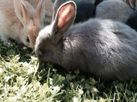 Rabbit - Beautiful Bunnies ready for new home