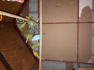 Selling 15 Budgies with the cage included.