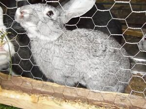 Flemish Giants For Sale