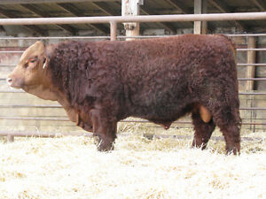 Simmental Yearling Bulls