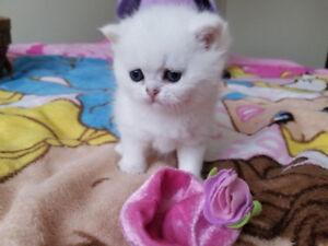 Purebred British shorthair kittens