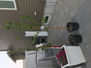 Two Spring Snow Flowering Crabapple Trees $20