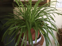 Spider Plants - Healthy & Beautiful, EXTREMLY Easy 2 Grow