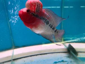 Flowerhorn Discus Fish Salt Water Fish Cichlids Arowana Angel