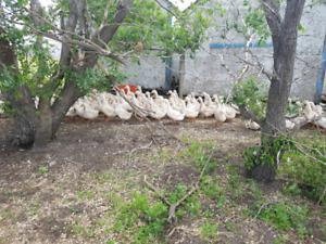 Adult Pekin Ducks!