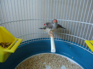 2 MANDARIN FINCHES WITH CAGE / 2 PINSONS MADARIN AVEC CAGE