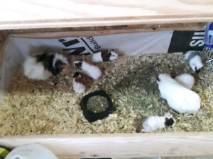 Guinea pigs for sale in cages