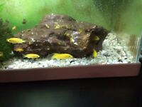 Malawi cichlids various size and variety