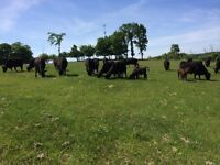 GRASS FED BEEF FOR SALE