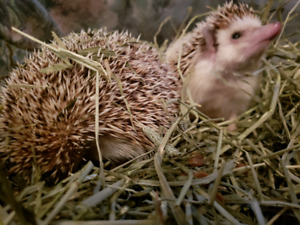 Hedgehogs Looking for New Homes