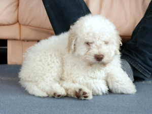 LAGOTTO  ROMAGNOLO PUPPY (only 1 MALE left)