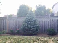 Blue spruce and Colorado blue spruce landscape trees