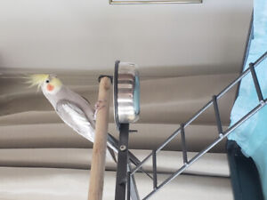 Male cockatiel for sale
