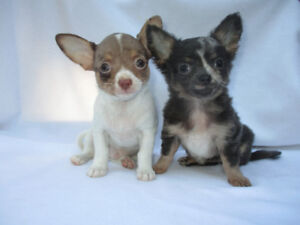 *Adorable Chihuahua Puppies & One Young Female Chihuahua *