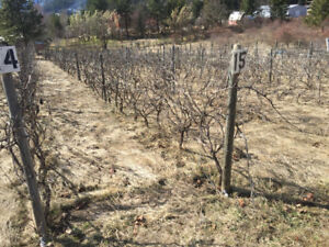 Seeded wine grapes
