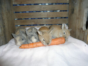 ABSOLUTELY AWESOME BABY BUNNIES FOR SALE !