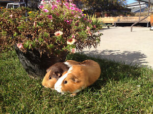 Two adorable female guinea pigs.
