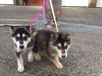 Giberian Shepsky puppy for sale
