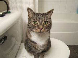 FREE - Two exotic & affectionate adult cats Cambridge Kitchener Area image 4