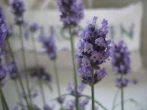 lavendel 110 samen lavendula augustifolia lila staude winterh k chenkraut duft ebay. Black Bedroom Furniture Sets. Home Design Ideas