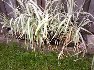 Variegated Silver Grass - one gallon containers