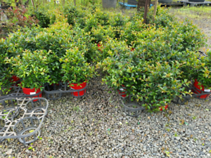 LILLY PILLY SYZYGIUM GOLD COAST HUGE NURSERY MEGA SALE PRICES REDUCED