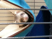 6 month old ferret/cage for sale