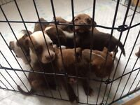 Terrier Puppies for sale