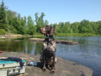 Lost German Short-haired Pointer.