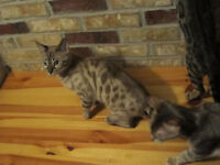Chatons Bengal Snow - Kittens