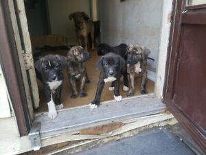 Cane Corso   Kijiji in Ontario  - Buy, Sell & Save with Canada's #1