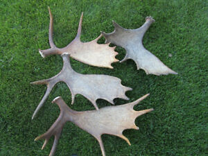 Buying-Moose, Elk and Deer Antler Sheds