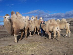 BACTRIAN CAMELS FOR SALE
