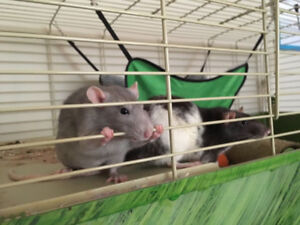 Two lovely pet rats! Cage, food, and other accessories included