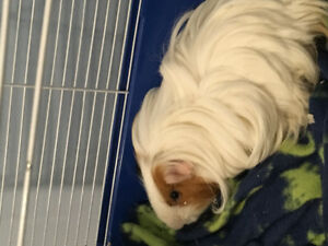 1 year old guinea pig