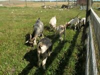 6 Goats for sale