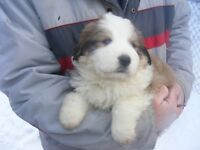 Bernese Mountain Dog X with Great Pyrenees puppies available