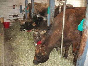 Carcans à bétail Lac-Saint-Jean Saguenay-Lac-Saint-Jean image 6