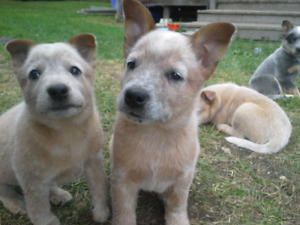 Heelers blues and reds