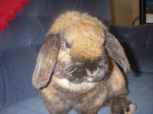 Holland Lop Buck for Sale