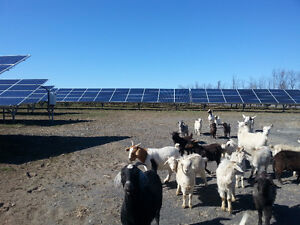 Solar Farm Subcontracting Opportunity! --Herd of Goats for Sale!