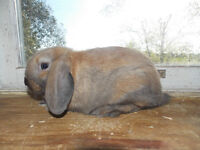 Lop Bunnies For Sale :)