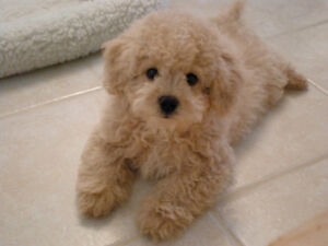 Looking to adopt poodle mix puppy! :) Kingston Kingston Area image 1