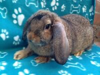 French lop x continental giant