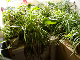 Swap my house plants for glass bottles or fuel containers