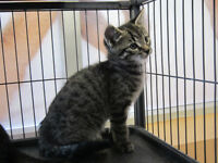 Riley - rescued brown tabby male kitten for adoption