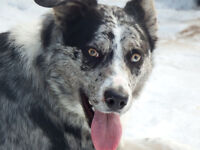 Merle Border Collie/Kelpie male 8 mos  price negotiable