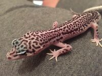 Female Super Snow Leopard Geckos